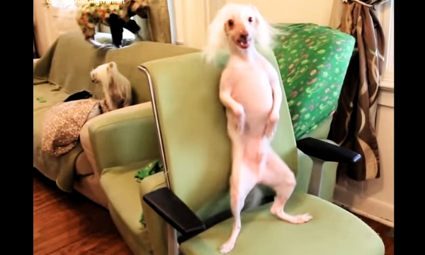 This Dog Likes To Dance More Than Any Other - Watch Him Go!