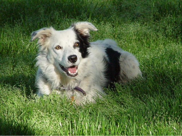 Image source: Chaser the Border Collie