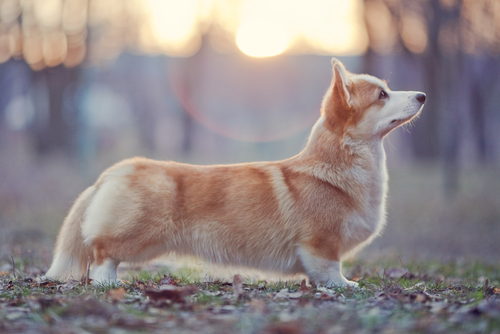 5 things you didnt know about pembroke welsh corgis iheartdogs shutterstock129921695 altavistaventures Images