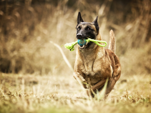 5 Things You Didn T Know About Belgian Malinois