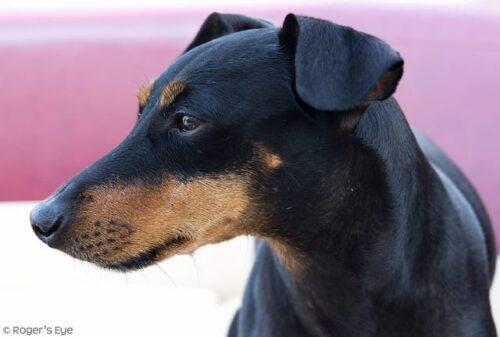Manchester Terrier close-up