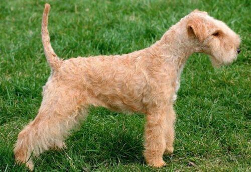 Lakeland terrier English dog breeds