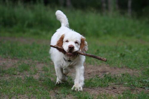 Clumber Spaniel fetching stick