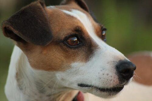 Jack Russell Terrier close-up