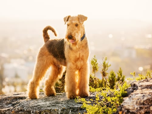 Airedale terrier english dog breed