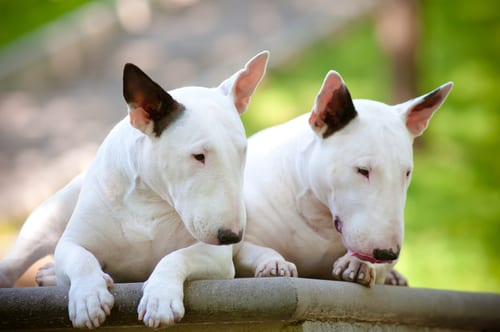 Bull Terriers English dog breeds