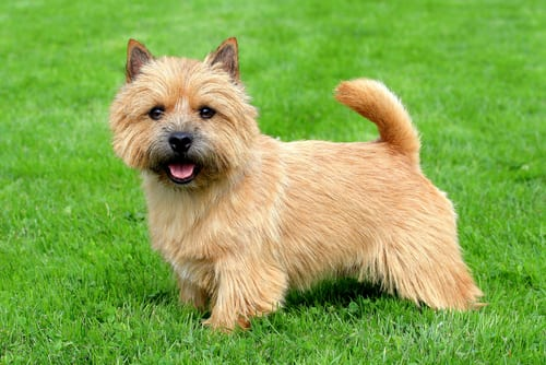 Norwich Terrier English dog breed