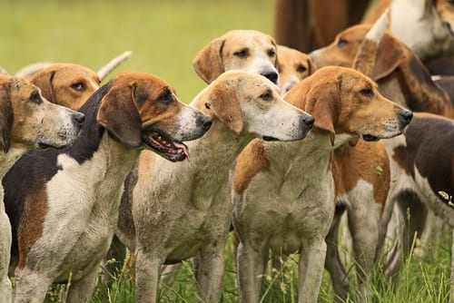 Group of English Foxhounds