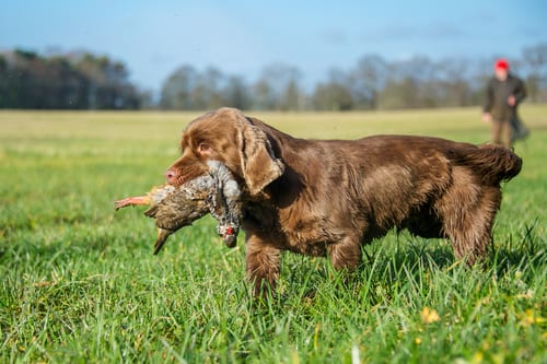 Sussex Spaniel hunting birds