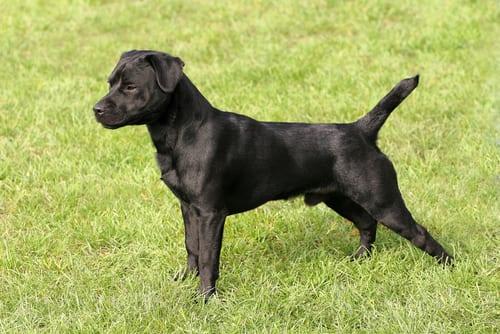 Patterdale Terrier standing in grass