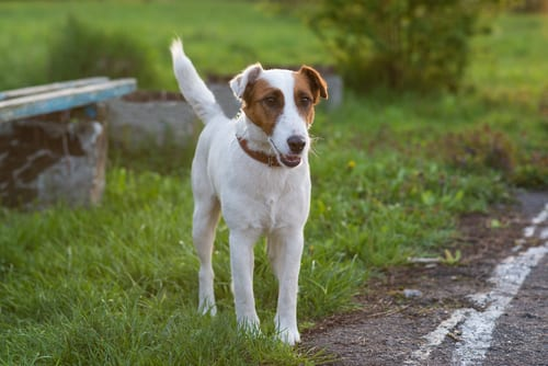 Smooth Fox Terrier alert