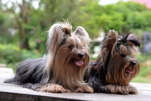 Yorkshire Terriers English dog breeds