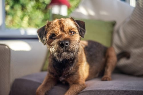 Border Terrier relaxing on couch
