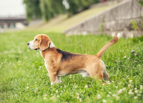 Beagle outside
