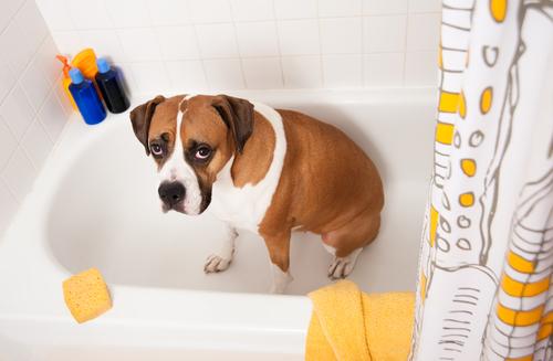 ask a vet why does my dog stink. Black Bedroom Furniture Sets. Home Design Ideas