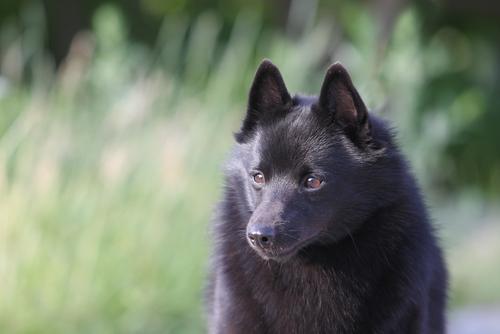 7 Dog Breeds From Belgium