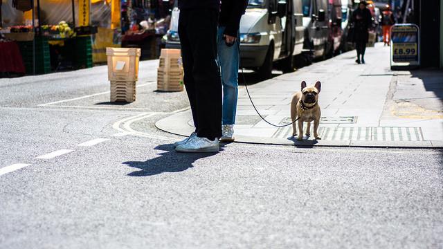 French bulldog going for walk