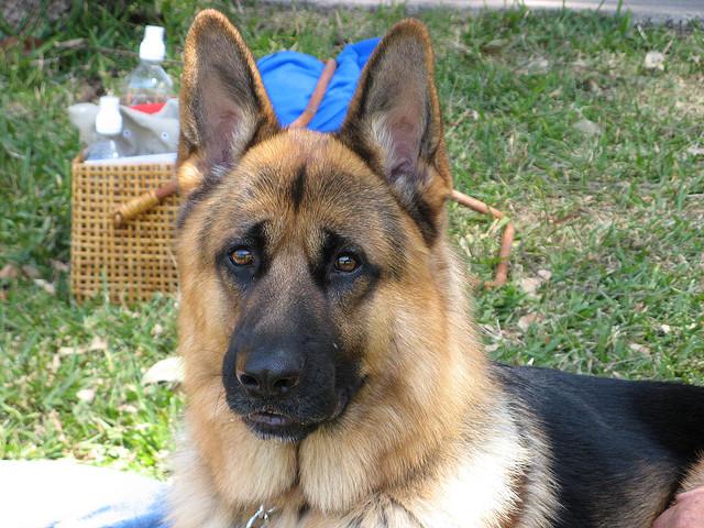 German Shepherd Dog clingy