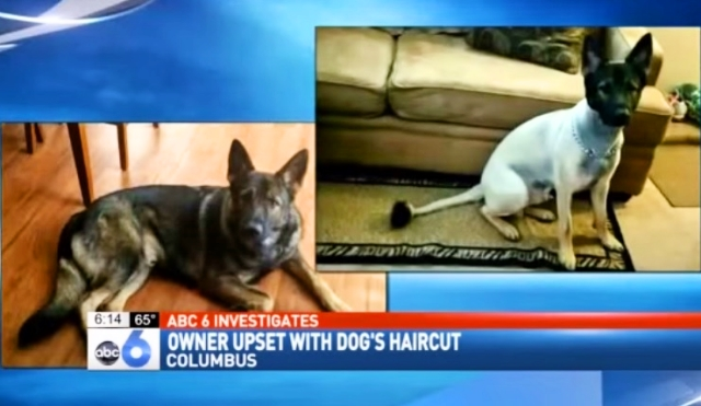 Dog Owner Livid After Groomers Shave Her German Shepherd Oh My This