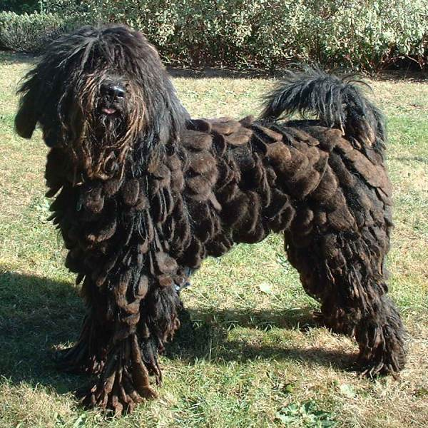 Big Dogs With Short Curly Hair 80