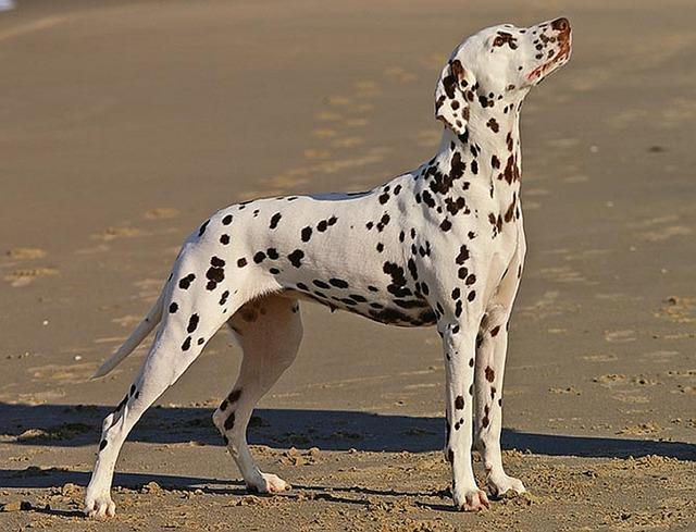 dalmatian-568649_640