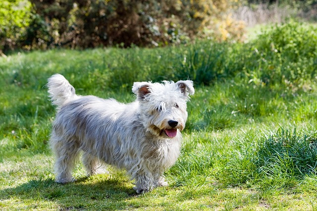 Glen of Imaal Terrier lazy dog breeds