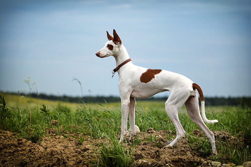 15 Of The Fastest Dog Breeds Iheartdogs Com