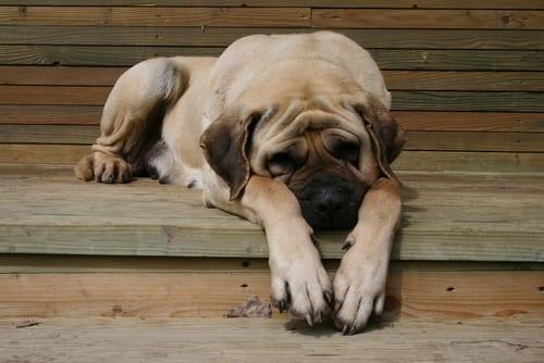 English Mastiff lazy dog breeds