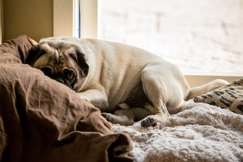 lazy pug in apartment