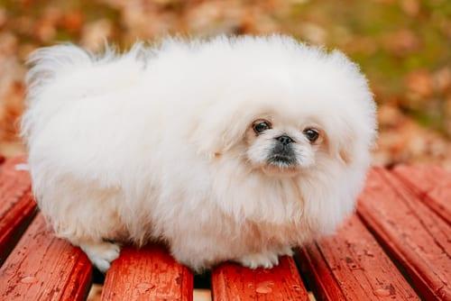 Fluffy Pekingese lazy dog breeds