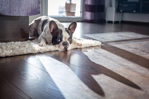 Lazy French Bulldog