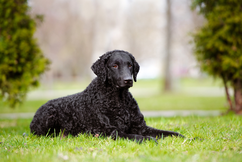Big Dogs With Short Curly Hair 73