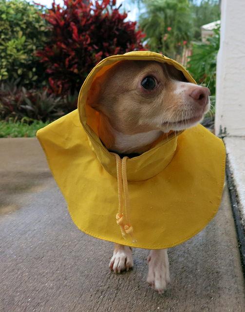 Chihuahua-coat