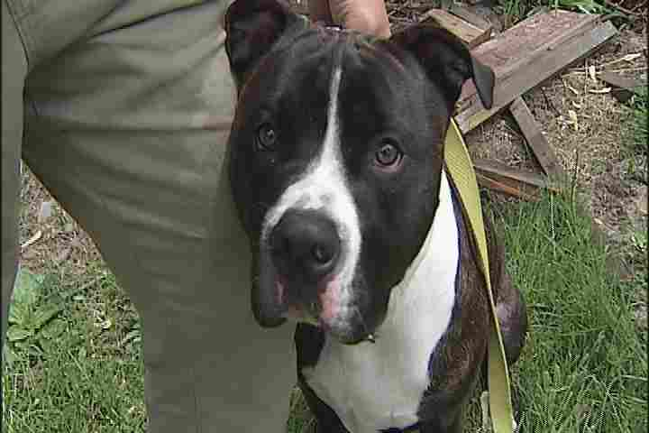 Family Pit Bull Rescues Dogs From Dog Fighting ... - photo#35