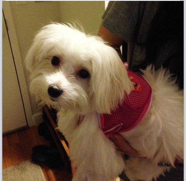 Doggy Backpack (picture of Snowbell, NYC) Image source: Denise Mange