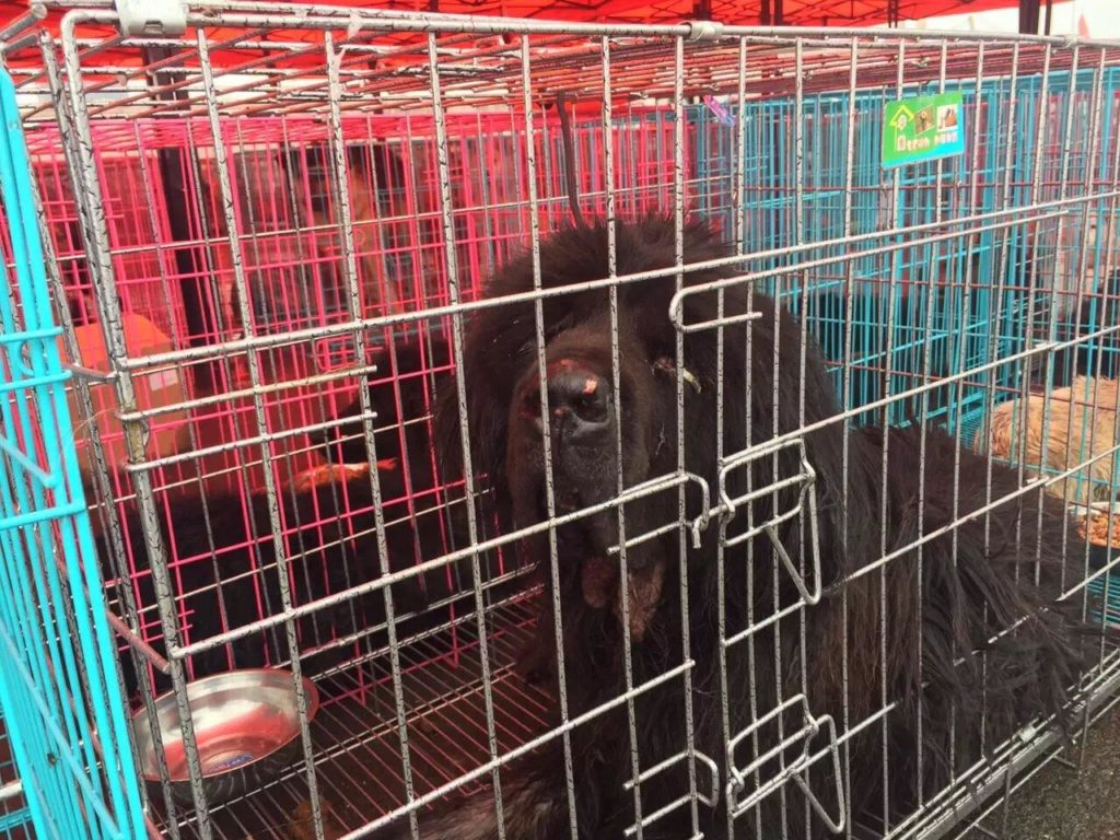 Dog rescued from Qinhuangdao on July 9 headed to his new life, thanks to the activists and HSI. Image source: HIS