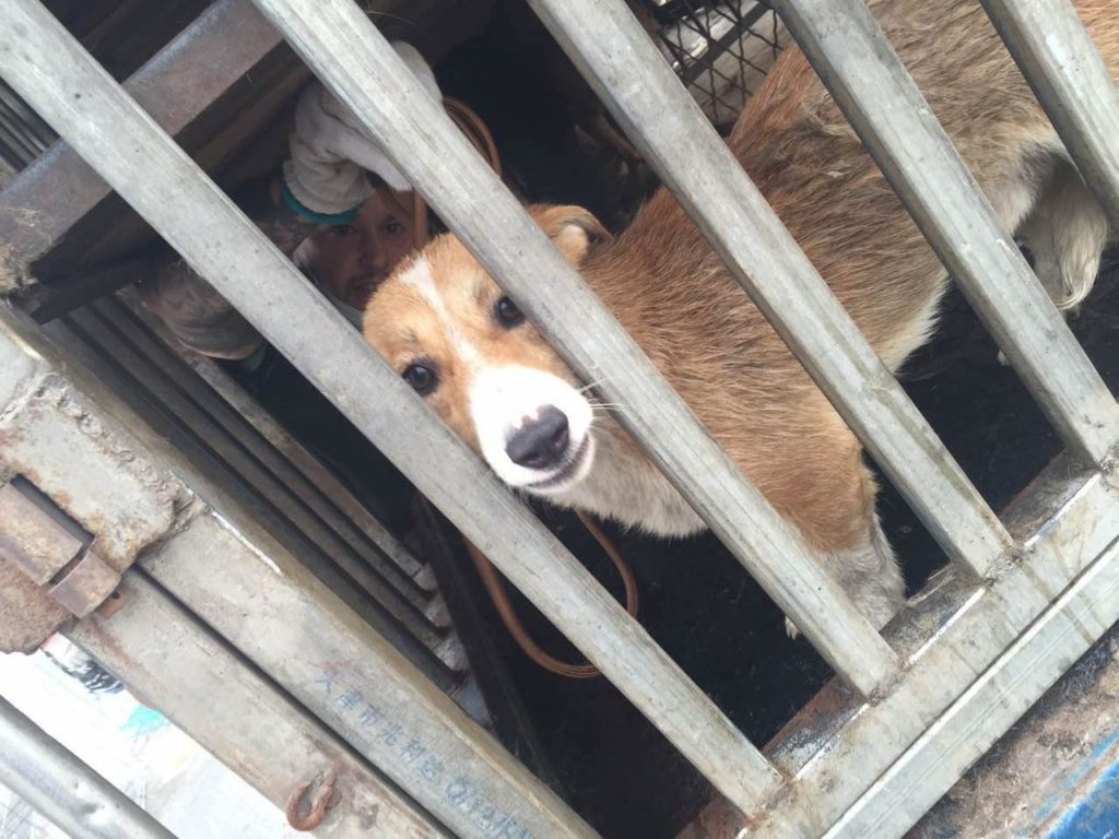 Dog rescued from Qinhuangdao on July 9. Image source: HSI