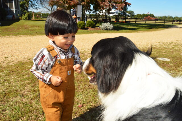A little boy reaches to pet a Bernese Mountain Dog considered one of the best large dog breeds for families with children.