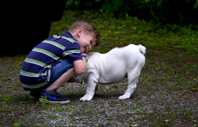 A young child crouching down to hug a very tolerant white Bulldog.