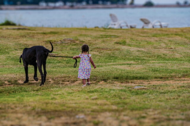 A large black Great Dane dog walking on a leash with a tiny child.