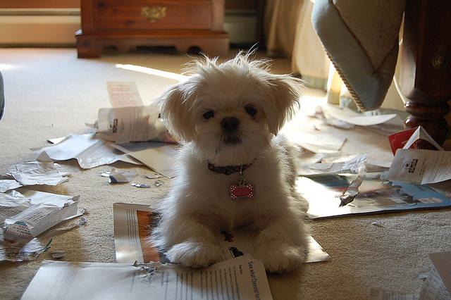 Image result for maltese dog, destroy