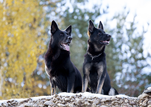 Good Family Watch Dog Breeds