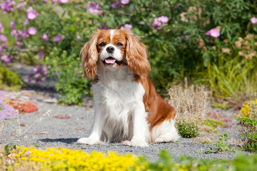 15 Dog Breeds That Don't Need Too Much Exercise - Pets Blog