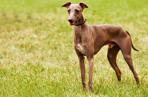 Italian Greyhound outside
