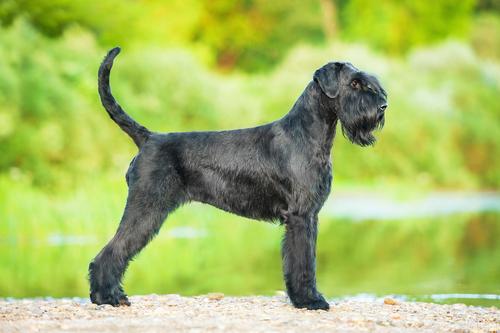 Best Non Shedding Guard Dog