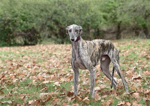 Greyhound outside with fallen leaves
