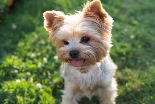 Yorkie best companion dogs