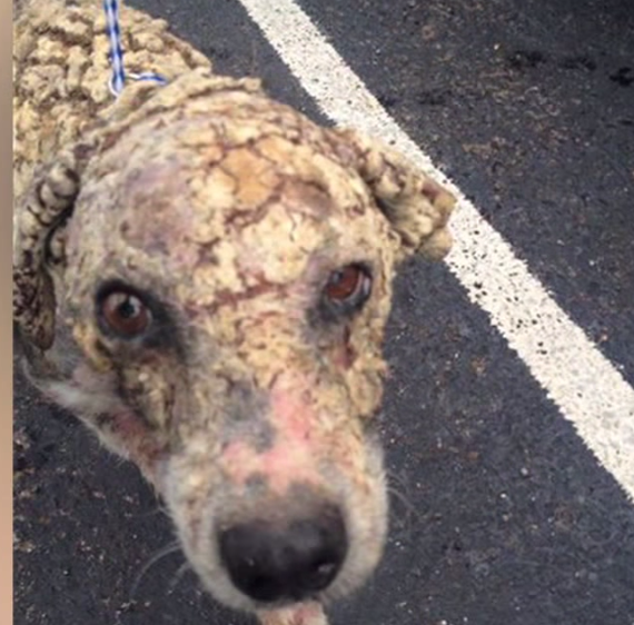 Dog Rescued With The Worst Case Of Mange Anyone Had Ever Seen