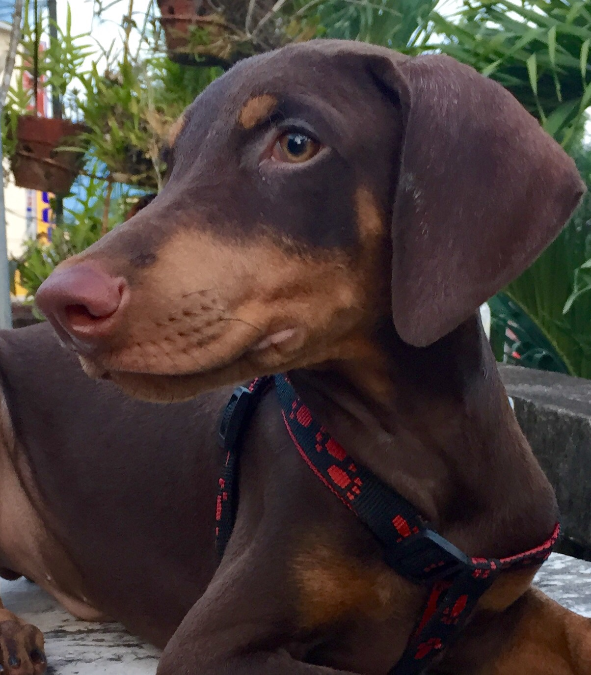 4 month old doberman proper height and weight iheartdogs stephaniewhitebaker73 nvjuhfo Image collections