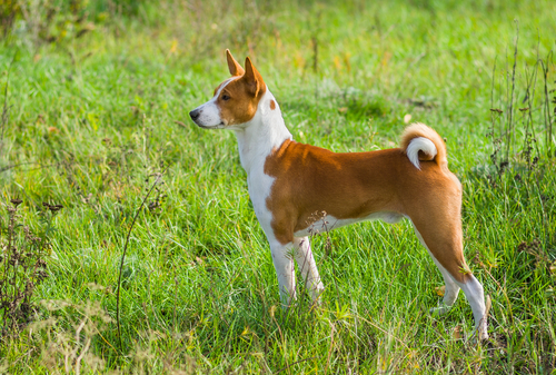 Dog Breeds That Clean Themselves Like Cats